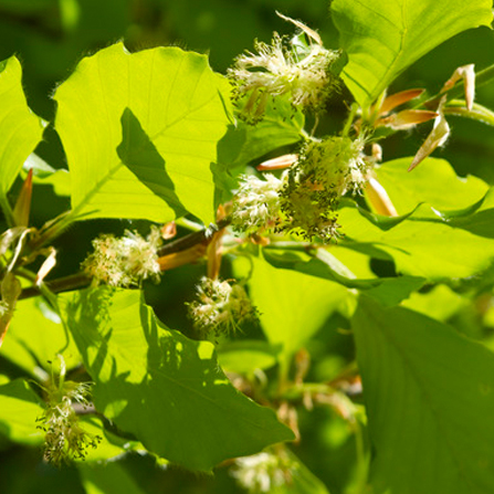 bach-flower-remedies-for-animals-beech-flower-for-yappy-dogs