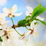bach-flower-animal-remedies-cherry-plum