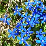 bach-flower-remedies-for-animals-gentian-flower