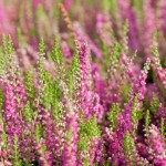 bach-flower-remedies-for-animal-heather